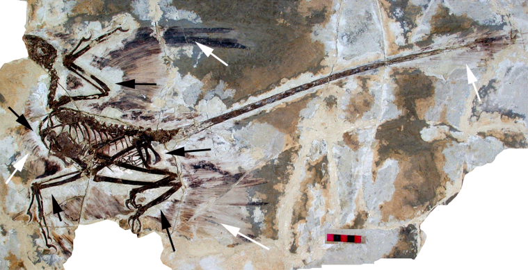 Fossil of a feathered dinosaur Microraptor gui from the early Cretaceous Jiufotang Formation in China (source: Wikipedia)
